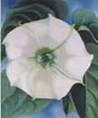 jimsonweed[1]