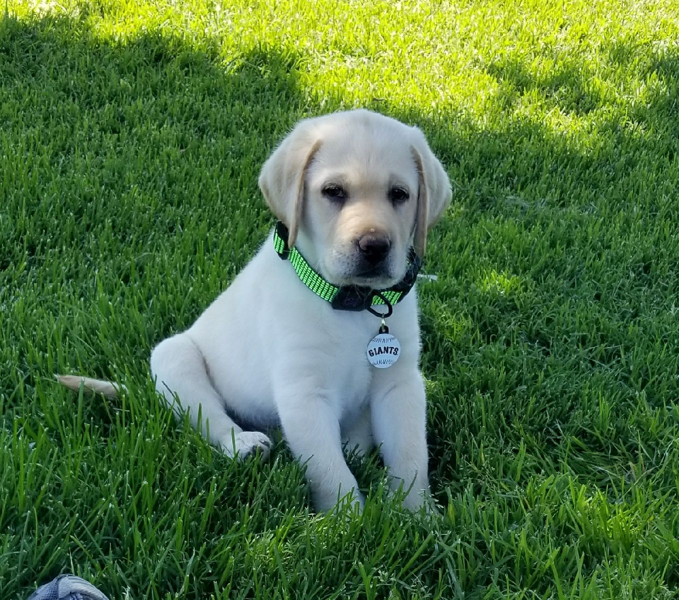 A picture of Dr E's yellow labrador as a puppy.
