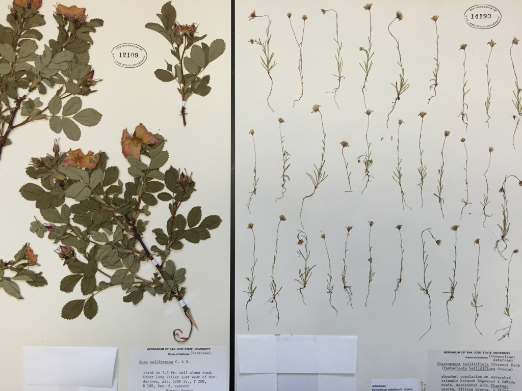 two herbarium specimens