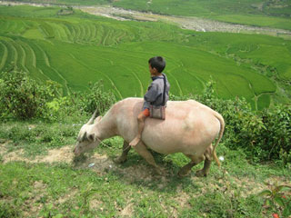 Child Riding an Ox